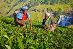sri-lanka-tea-women-farm.jpg